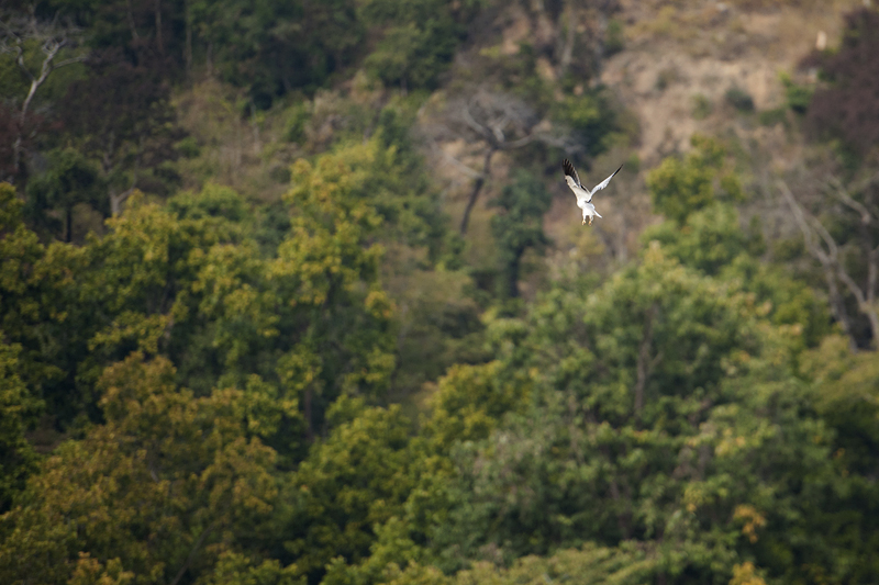 Black-shouldered Kite 8621