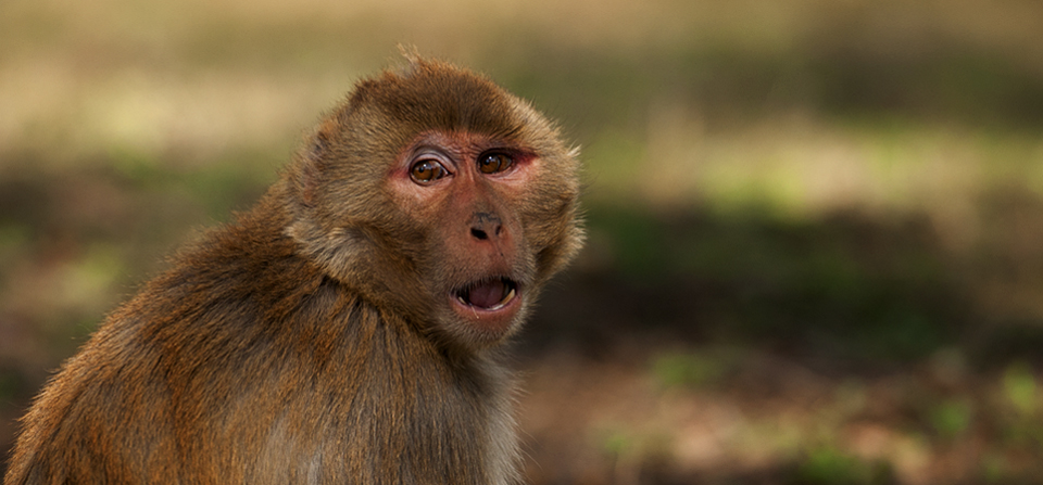 Within a Rhesus Macaque's Comfort Zone
