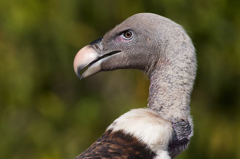 Rippell's Griffon Vulture