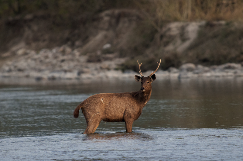 Sambar Deer in the middle of the river
