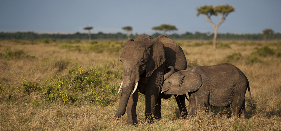 Elephant with a suckling calf