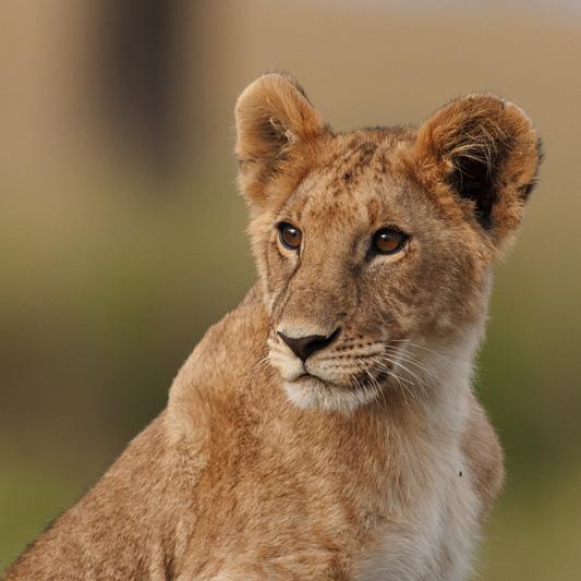 Sub- Adult Lion
