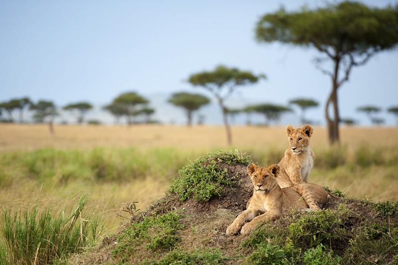 Sub-Adult Lions