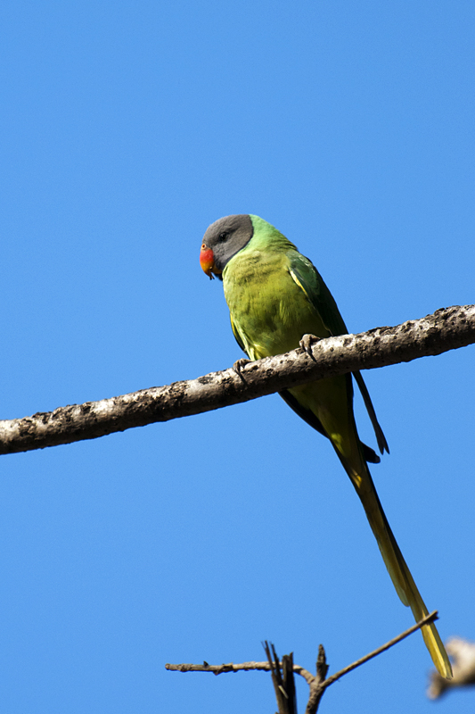 Slaty-headed Parakeet