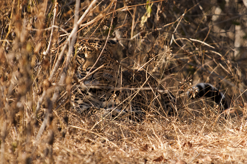 Camouflaged Leopard