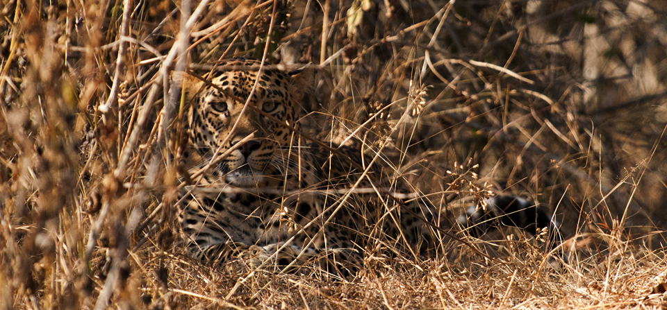 Perfectly camouflaged leopard in bandipur national park walk the