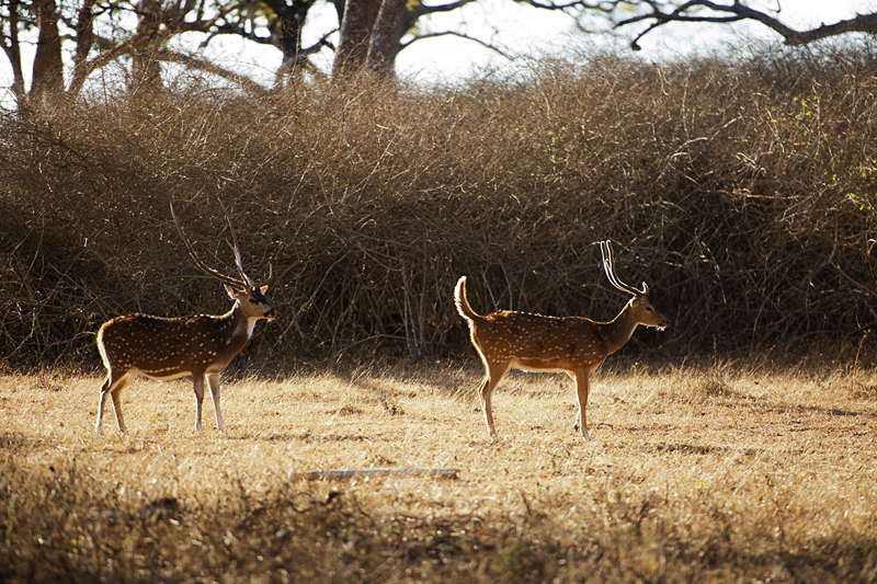 Chital Stags