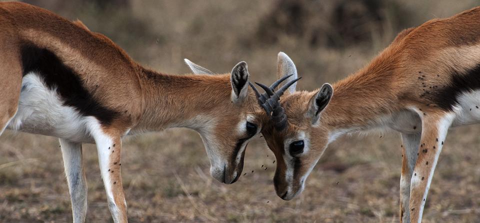 African Safari in Masai Mara Reserve