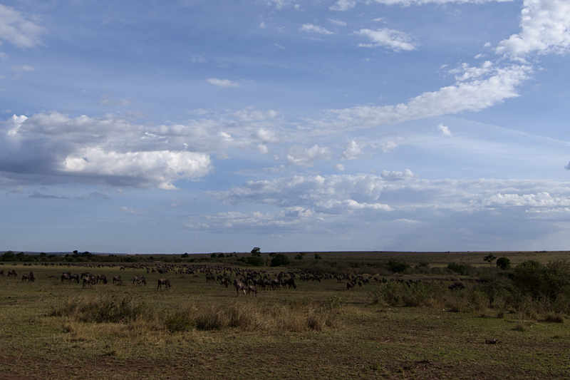 Annual Migration of Wildebeest