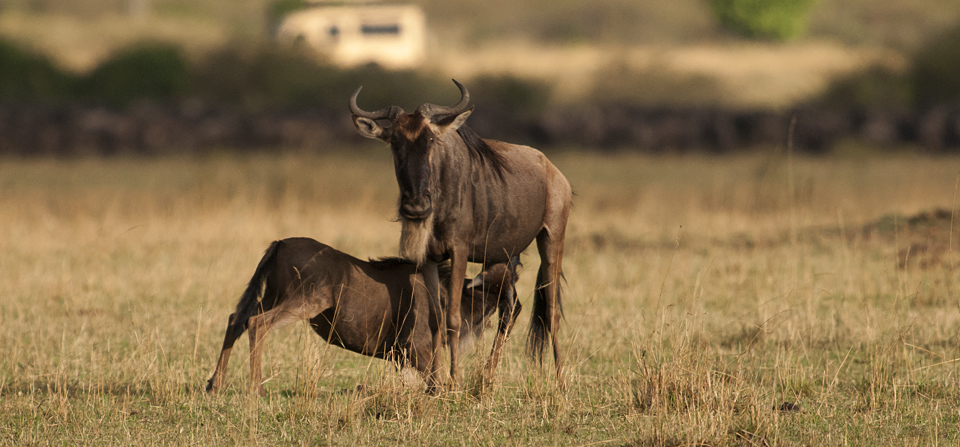 Wildebeest river crossing decoded – not just yet