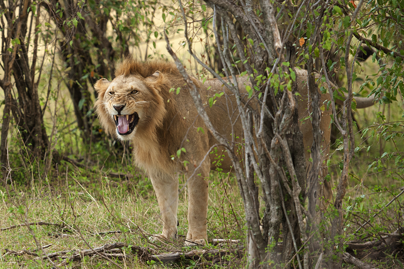 Flehmen behavior in Lion