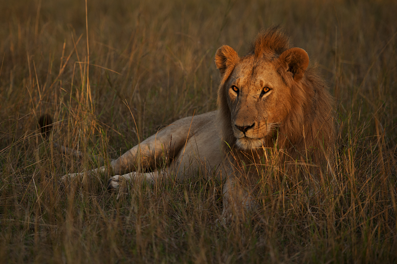 African Lion in golden hour light