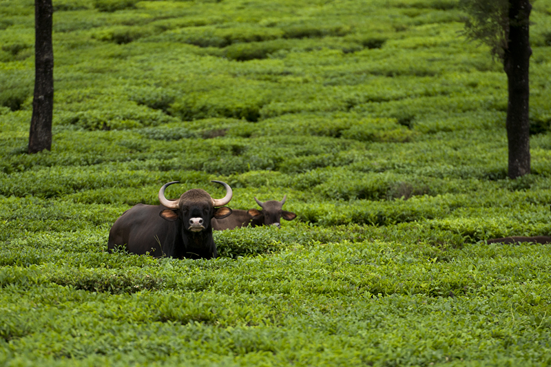 Gaur resting in a tea plantation 7113