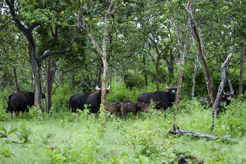 Indian Gaur Herd