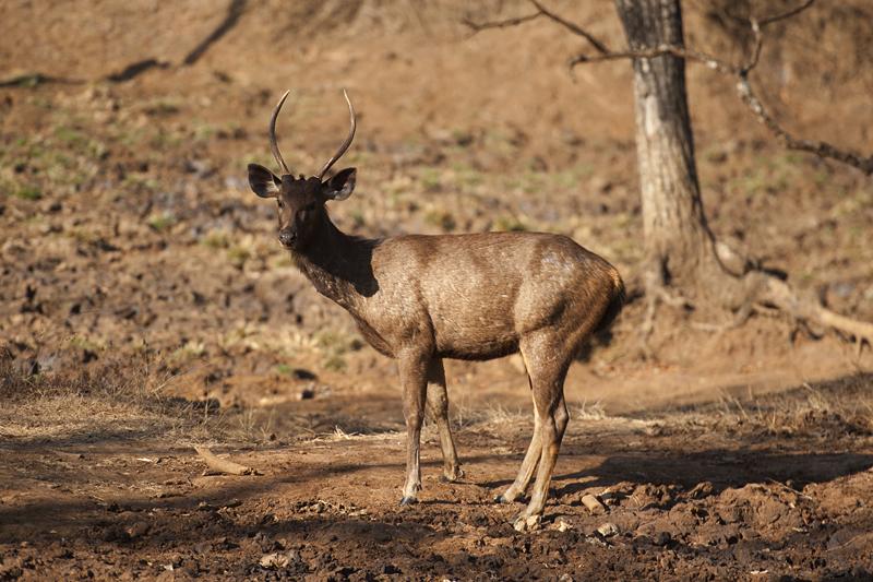 Sambar Deer Stag