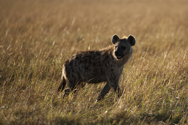 Spotted Hyena 0118