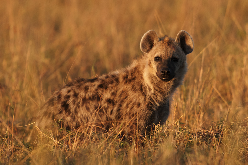 Spotted Hyena 7405