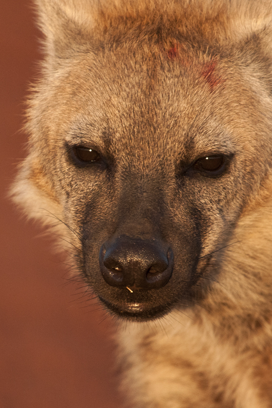 Spotted Hyena 7409