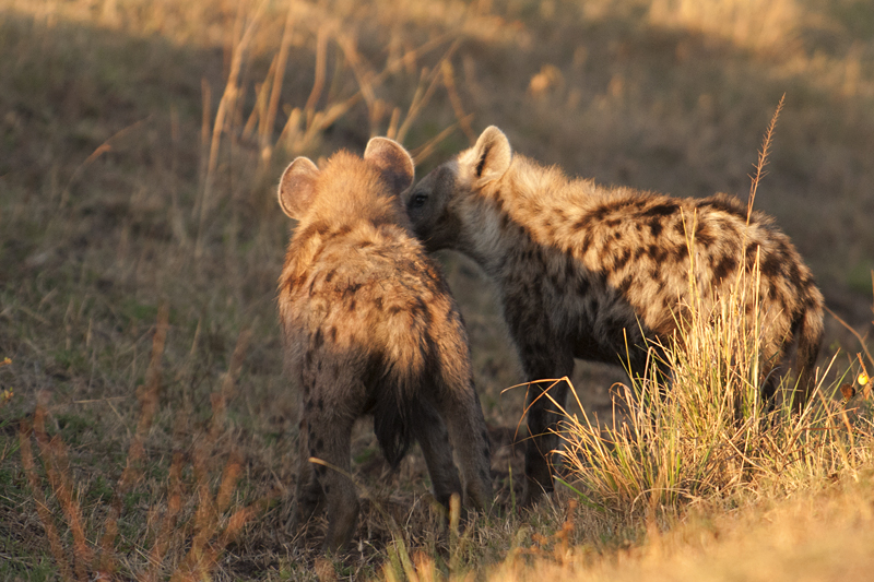 Spotted Hyena Cubs 7411