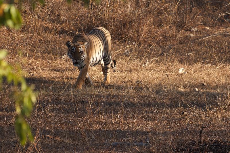 Tiger emering from Lantana
