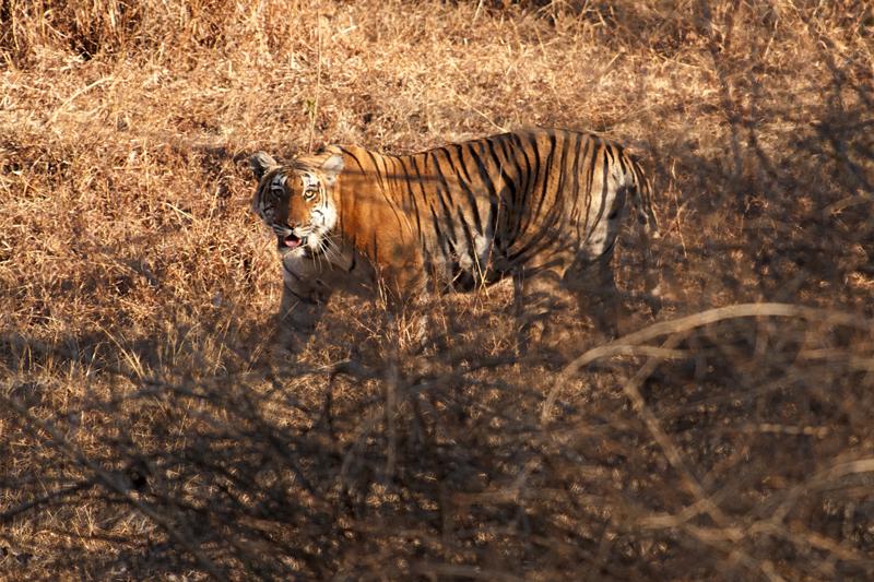 Tiger ermering from Lantana