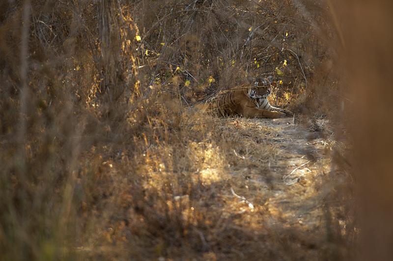 Tiger hiding in Lantana