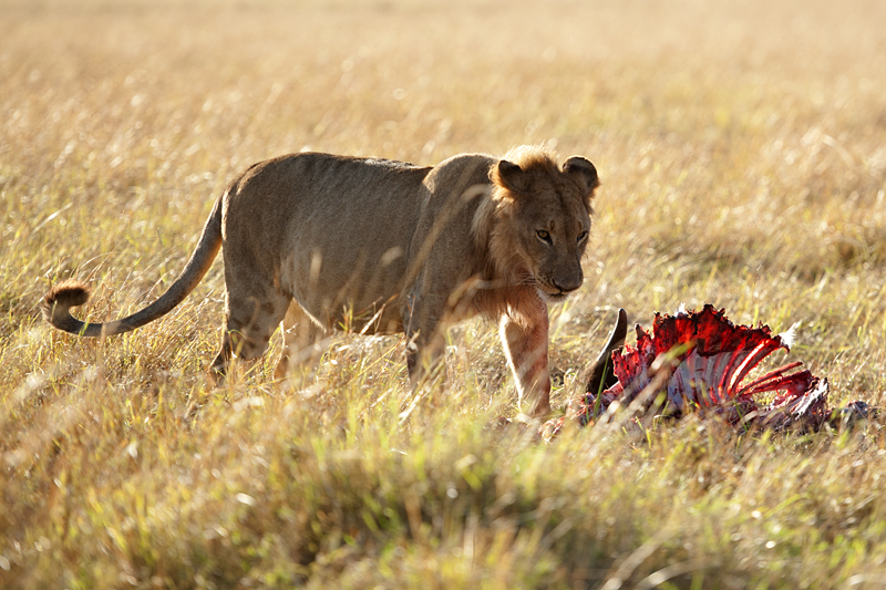 African Lion at Buffalo Kill 0138
