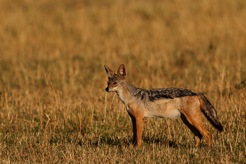 Black-backed Jackal 7423