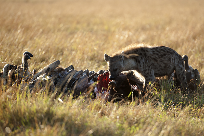 Hyena at Buffalo Kill 0120