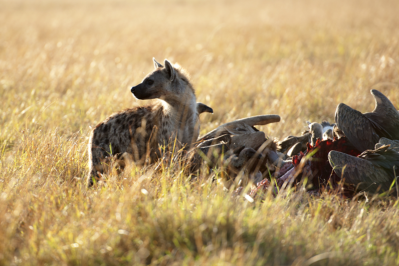 Hyena at Buffalo Kill 0129