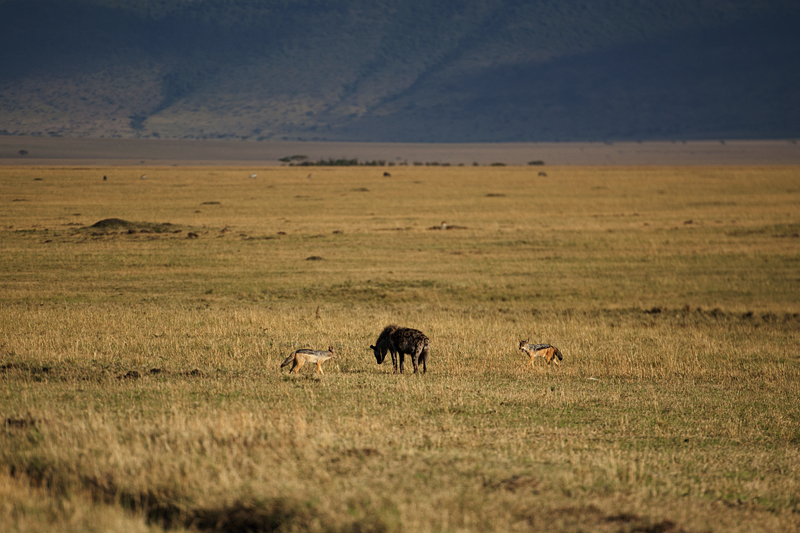 Hyena chasing Black-backed Jackals 0151