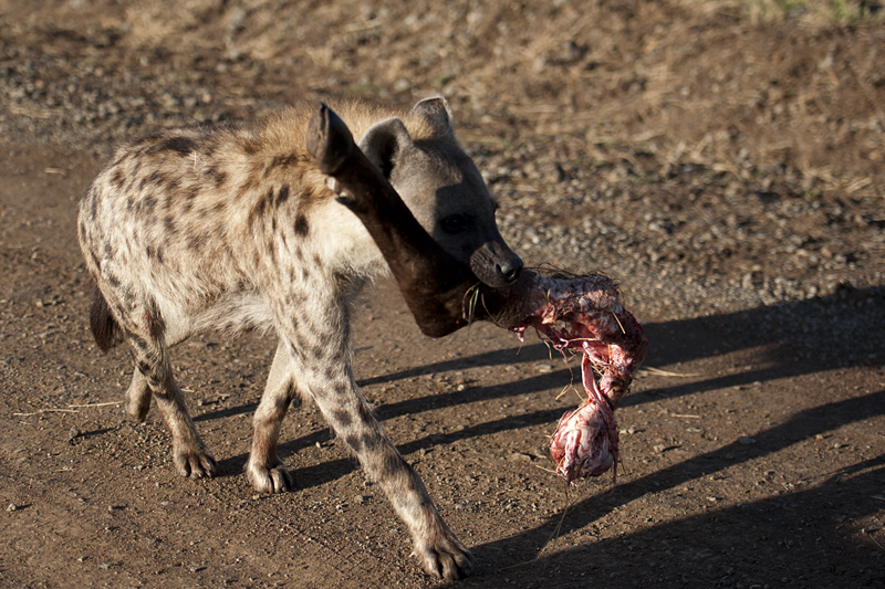 Hyena with Buffalo Leg 0174