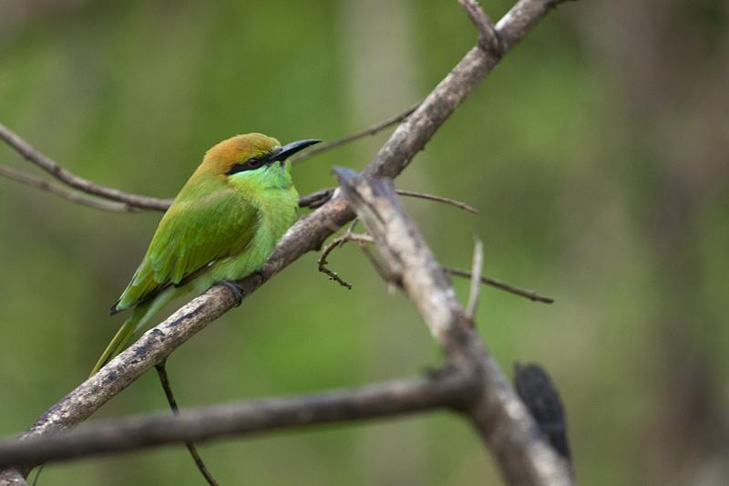 Little Green Bee-eater 8165