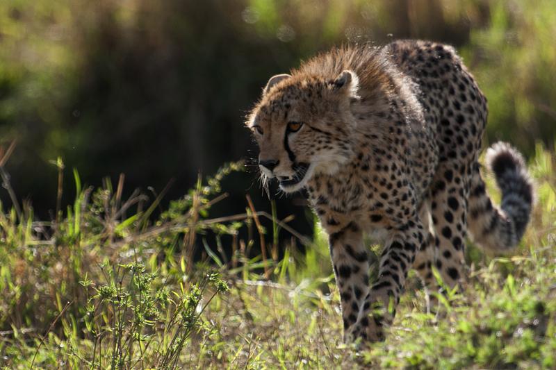 Cheetah Cub 7484