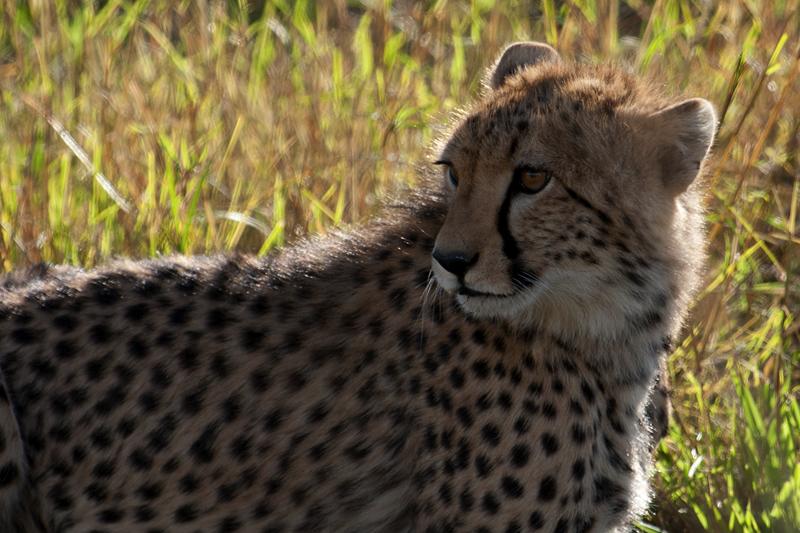 Cheetah Cub 7485