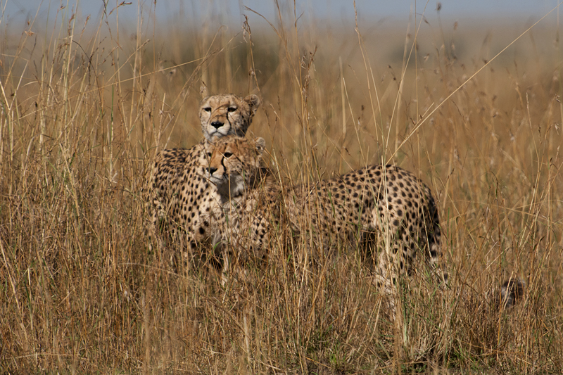 Cheetah mother and cub 7445