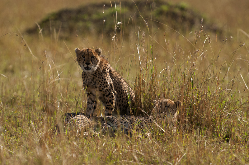 Cheetah mother and cub 7470