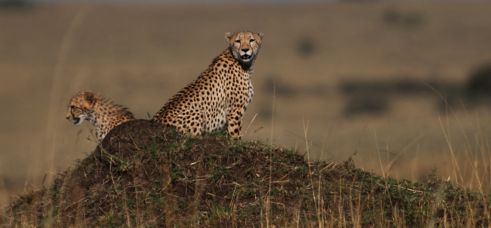 Following a Cheetah and her cub in Masai Mara