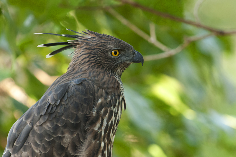 Crested Hawk Eagle Closeup