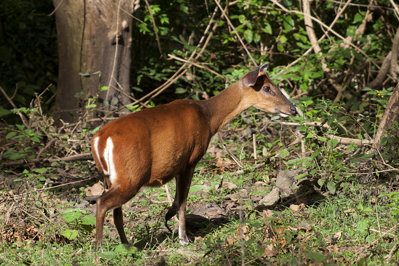 Female Barking Deer