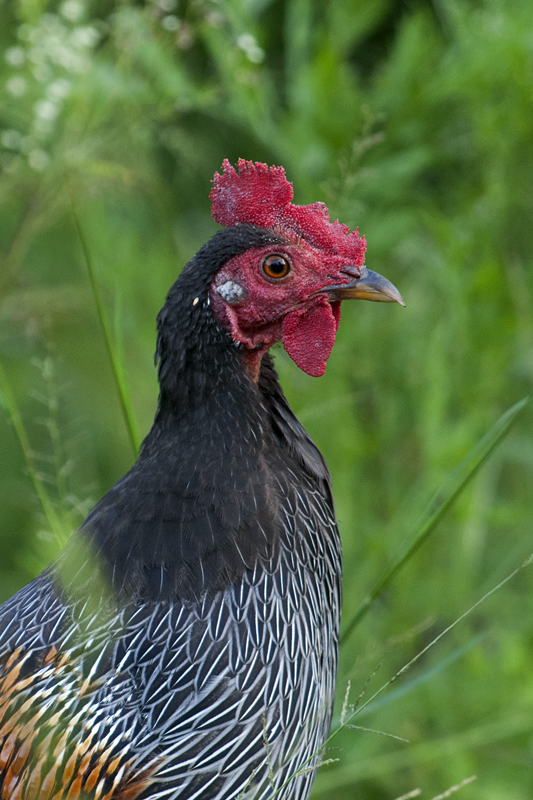 Grey Junglefowl 8217