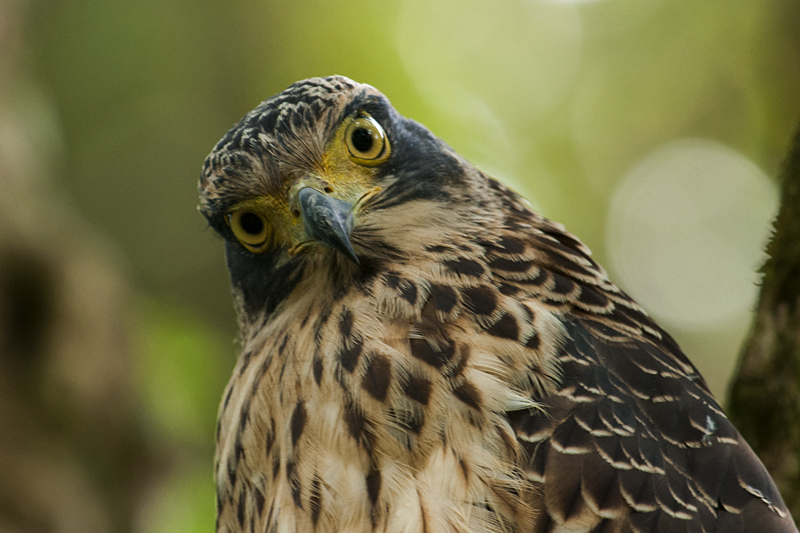 Juvenile Crested Serpent Eagle