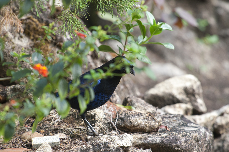 Malabar-Whistling Thrush Hiding