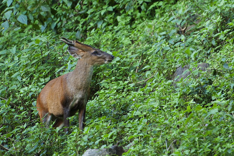 Male Barking Deer