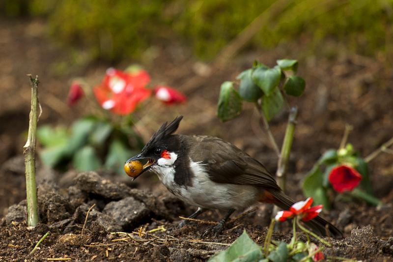 Red-Whiskered Bulbul-Feeding