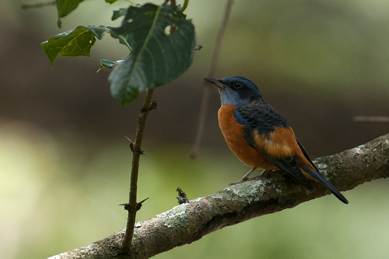 Blue-capped Rock Thrush portrait