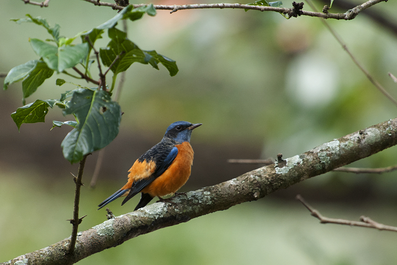 Blue-capped Rock Thrush posing