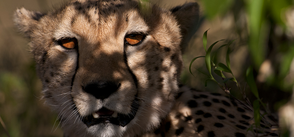 Portraits of a Cheetah in Masai Mara