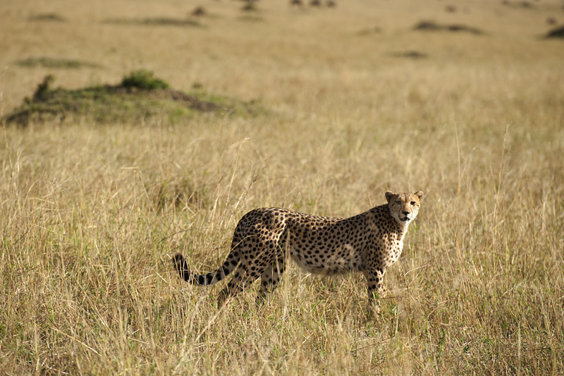 Cheetah standing amongst tall grass in Masai Mara