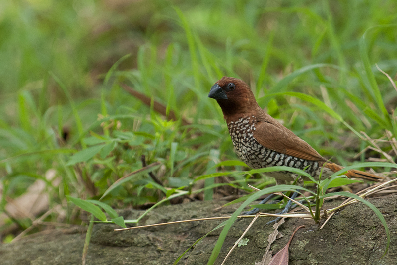 Foraging Munia